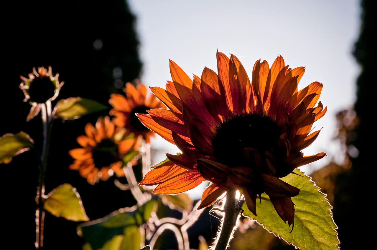 Höstens solrosor