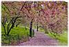 18x24matteCherry Blossums in Central Park-master