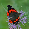 Brilliant Red Admiral