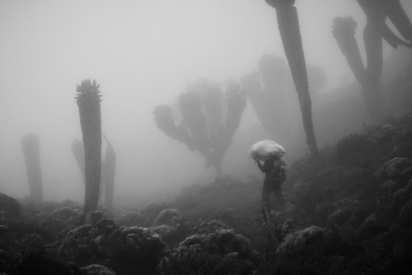 A lone porter hefts a large sack as he hikes among the giant senecios loom out of the fog and are unique to Kilimanjaro.