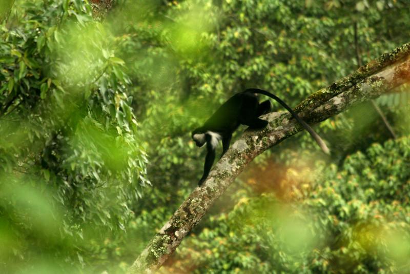 An Angolan colobus (Colobus angolensis)<br /> <br /> Nyungwe NP, Rwanda