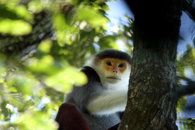Red-shanked Douc (Pygathrix nemaeus)<br /> <br /> Red-shanks are among the more difficult primates to find.<br /> <br /> Sơn Trà, Vietnam