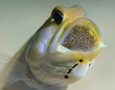 Yellowheaded Jawfish with eggs, Bonaire