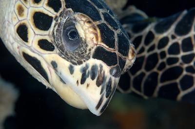 Hawksbill Turtle, Bonaire