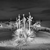 Secret night life of a Yucca in White Sands National Monument, New Mexico