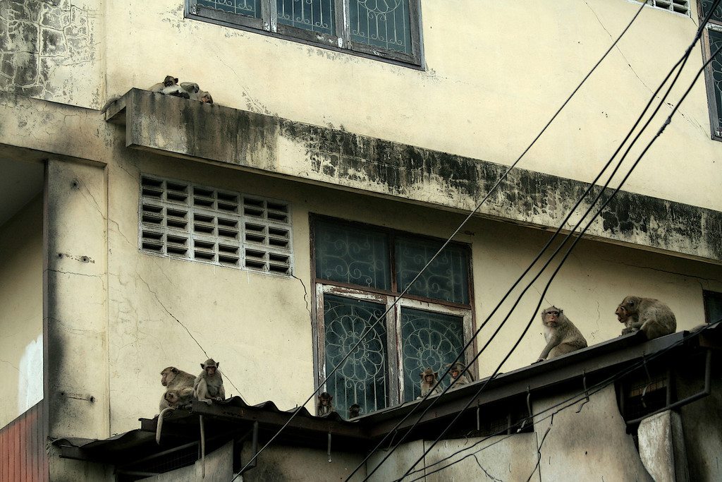 Long-tailed macaques (Macaca fascicularis fascicularis) rule the rooftops<br /> <br /> Lopburi, Thailand