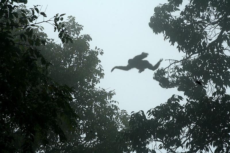 A lar gibbon (Hylobates lar) gaps the canopy<br /> <br /> Khao Yai NP, Thailand