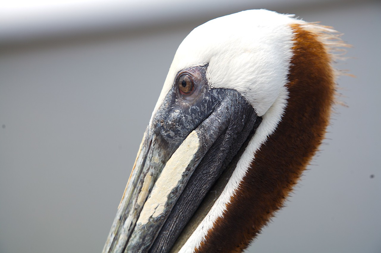Pelican at Clearwater Beach