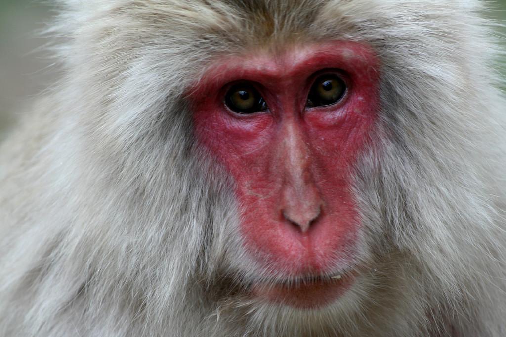 Japanese macaque (Macaca fuscata)<br /> <br /> 地獄谷野猿公苑 , 日本 2007