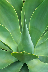 Lion's tale agave