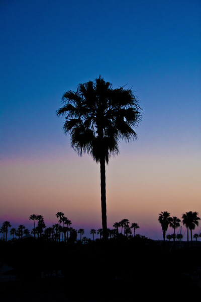 Palm Tree - Huntington, Beach, CA