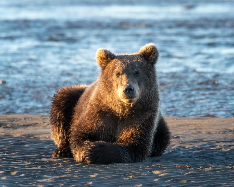 Brown Bear Cub Portrait
