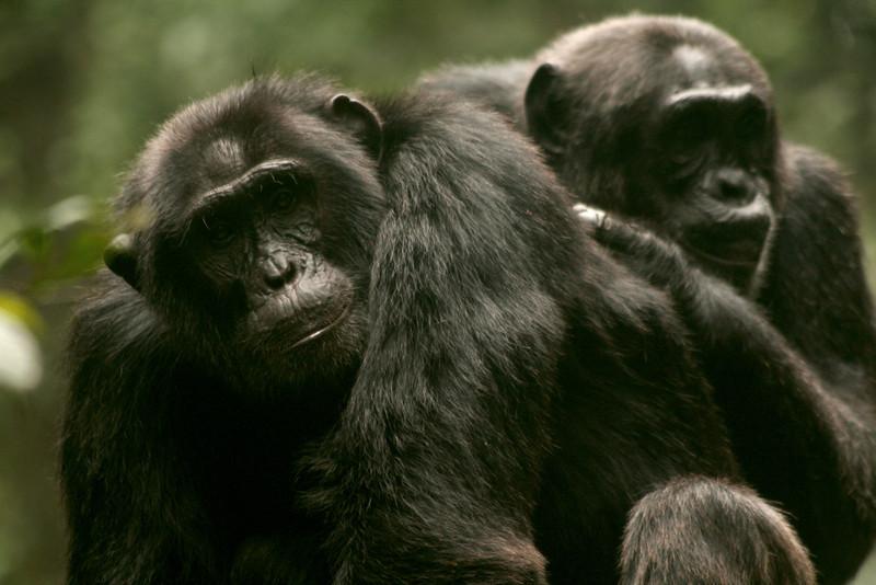Eastern Chimpanzees<br /> <br /> Kibale, Uganda