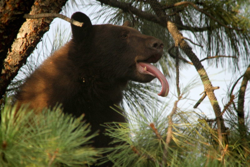 A black bear  (Ursus americanus) start to tire of waiting, stuck up in the tree behind my office on the campus of the University of Colorado<br /> <br /> Boulder, CO