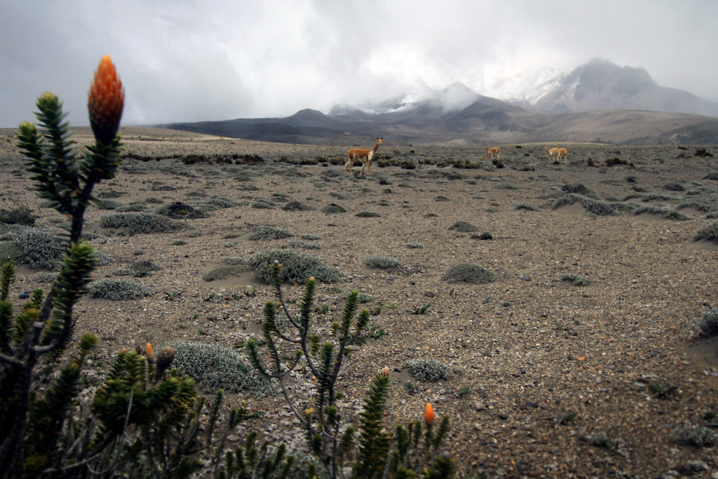 Re-wilded vicuña graze the slopes of Chimborazao<br /> <br /> Ecuadorian Andes