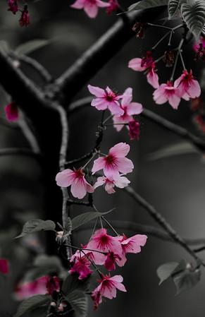 Prunus serrulata / Japanese Cherry