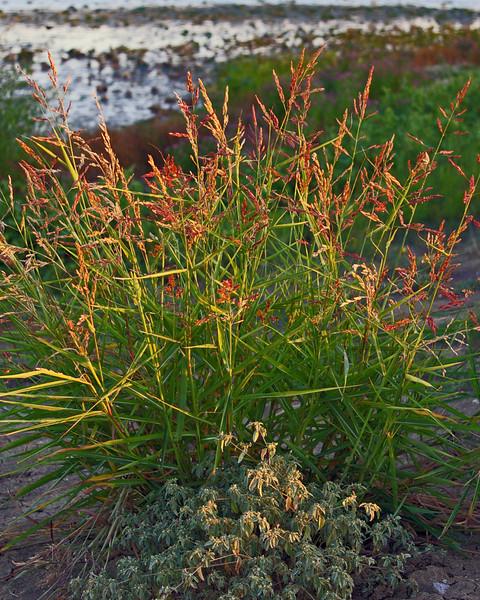 Dallas grass (Sep 2006)