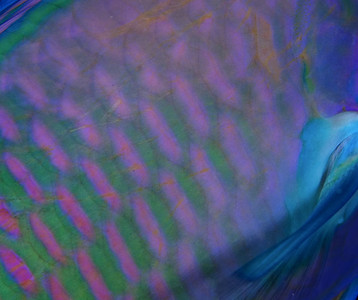 Parrot Fish Detail, Fiji