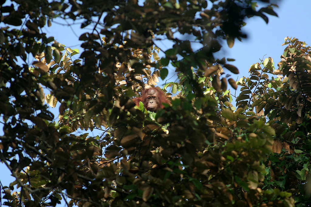 An orangutan (P. pygmaeus) eyes me warily. This moment was five days in the making, I was too excited to be polite.<br /> <br /> Kinabatangan, Sabah, Malaysian Borneo 2007
