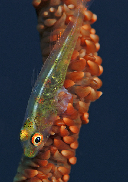 Whip Goby (green with red spots); Fiji