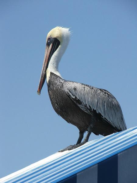 Pelican Shack