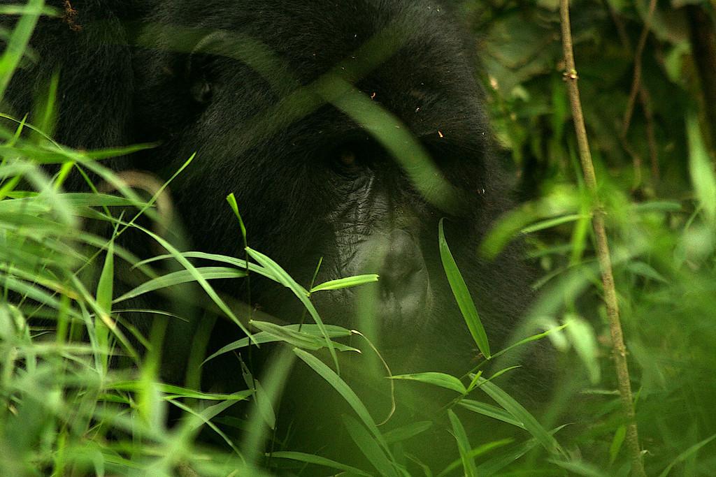Mountain gorilla (Gorilla beringei beringei) <br /> <br /> Bwindi Impenetrable Forest, Uganda