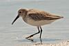 7-5 x 5 sanderling-5