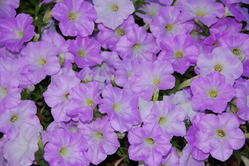 Purple Petunia 1