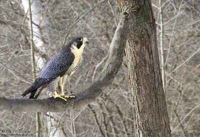 Resting Falcon