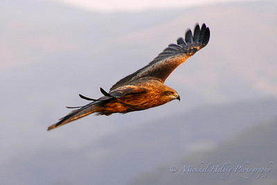 Black Kite - Tottori Prefecture