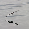 Cape Petrel and its reflection<br /> A Cape Petrel flies just above the surface of an uncharacteristically calm Southern Ocean. Taken in December 2005 with a Canon 10D and a Sigma 70-200 mm f/2.8 lens; the exposure was 1/1000 sec at f/6.7; ISO 200.