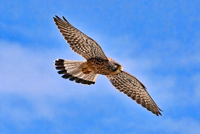 Flight of the Kestrel