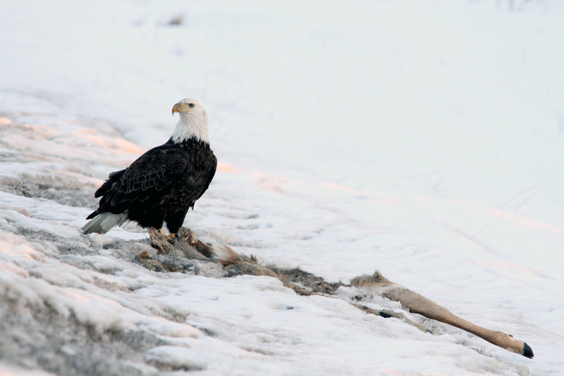 A bald eagle (Haliaeetus leucocephalus) scavenges roadkill<br /> <br /> North Woods, WI