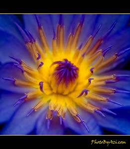 Did you know that a lotus blooms with the sun and closes again at night- I didnt before!