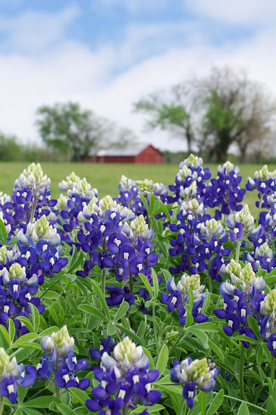Bluebonnets at Samuel Farm, Mesquite TX (Apr 2014)