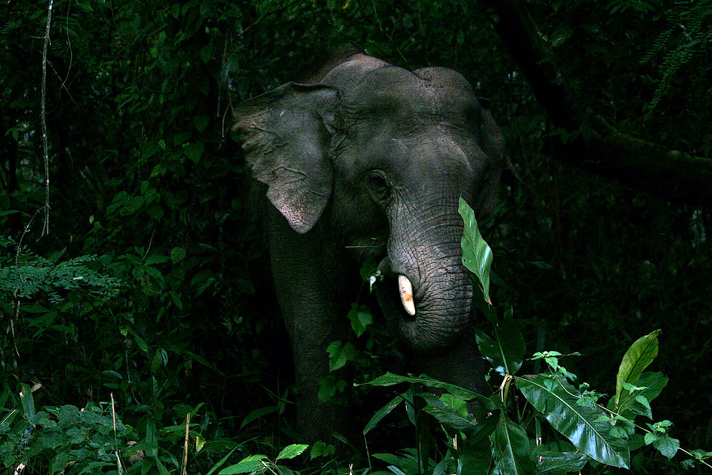 Asian elephant emerging<br /> <br /> Khao Yai NP, Thailand