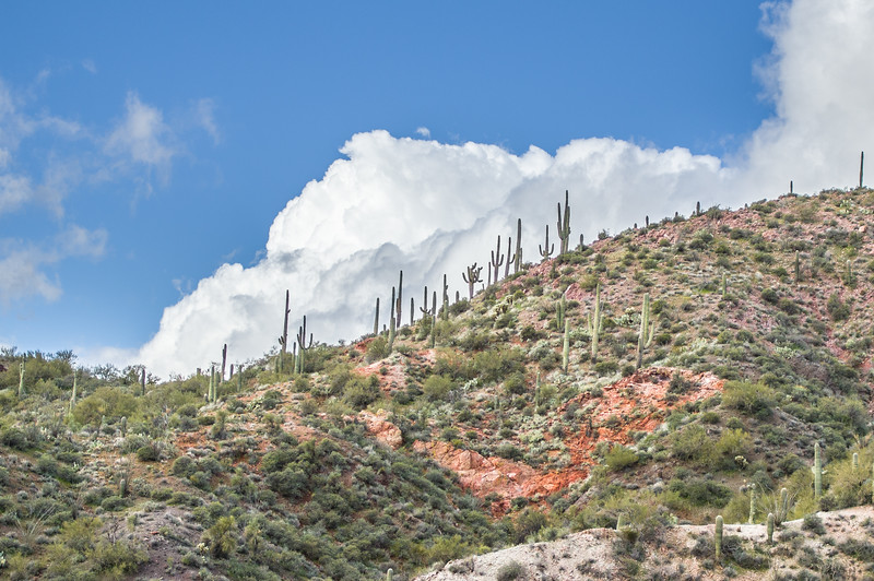 Saguaro cactus on hillside, Castle Hot Springs road, AZ (Feb 2019)