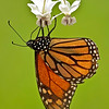 The Monarch and the milkweed