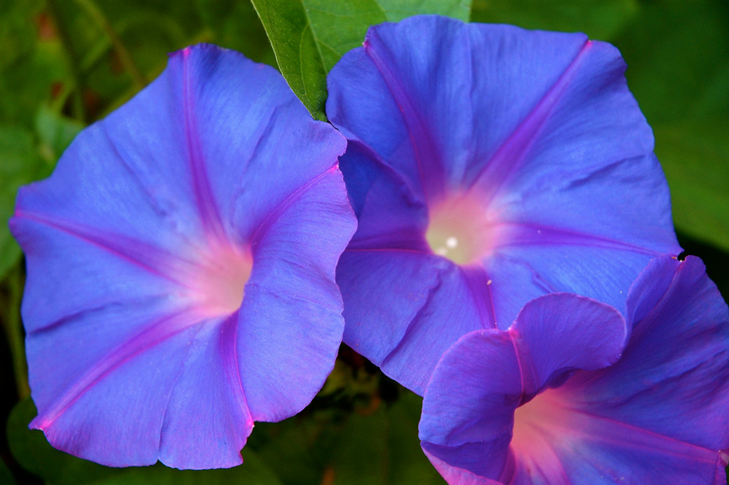 Morning Glories - Seem to light up from the inside