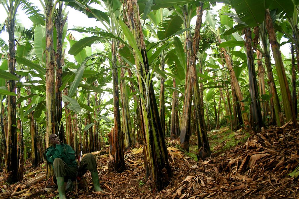 Uganda Wildlife Authority, protecting gorillas from beneath the bananas<br /> <br /> Bwindi, Uganda