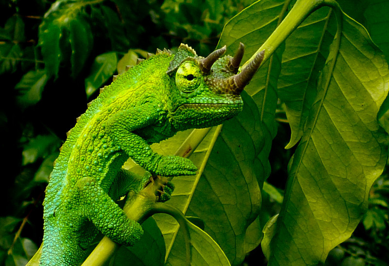 This little guy is a chameleon. Known as a Trioceros jacksonii (common names Jackson's Chameleon or Three-horned Chameleon) .