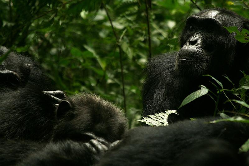 Eastern chimpanzee (Pan troglodytes schweinfurthii), deep in thought<br /> <br /> Kibale NP, Uganda 2008