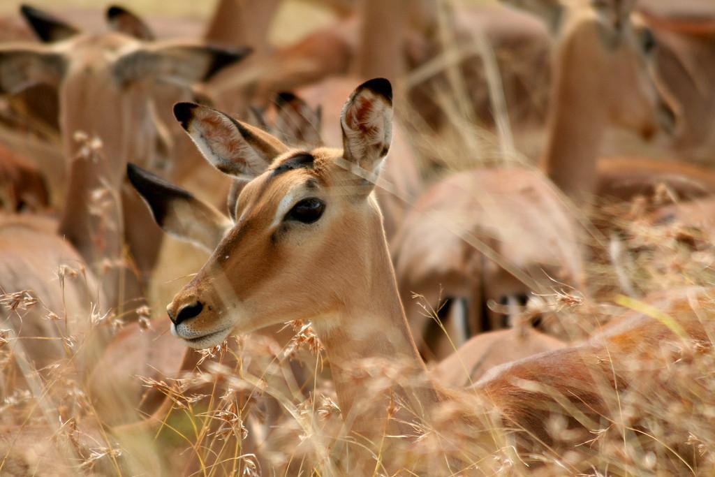 Impala (Aepyceros melampus)<br /> <br /> Kruger NP , South Africa