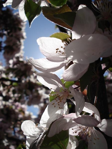 Spring Blossoms, Boise, Idaho, 2006