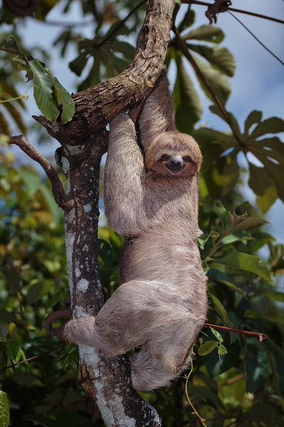 three-toed sloth