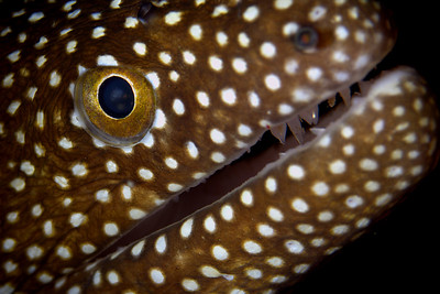Whitemouth Moray, South Africa, Sodwana Bay