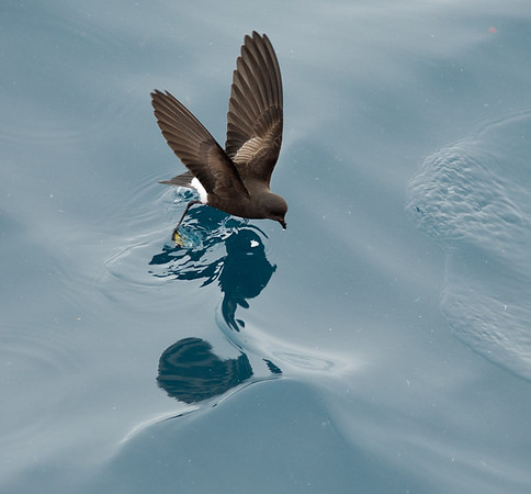 Wilson's storm petrel feeding<br /> A Wilson's storm petrel dips its yellow feet into the water as it is feeding off South Georgia. Taken in January 2008 with a Canon 5D and a Sigma 70-200 mm f/2.8 lens. The exposure was 1/400 sec at f/4.5; ISO 200