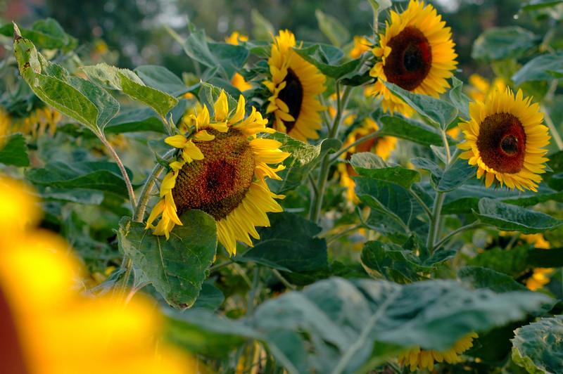 Sunflowers, Munich Germany