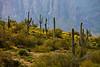 Superstition Mountain Sahuaros