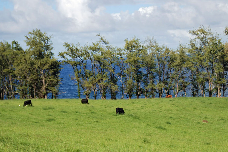 Cattle ranch off the Road to Hana.  Notice the birds next to each cow.